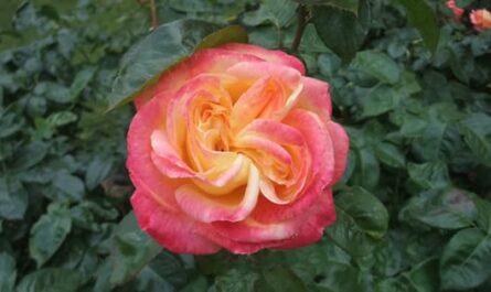 Photo d'une Rose pour un anniversaire
